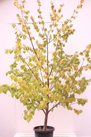 tilia cordata linden tree