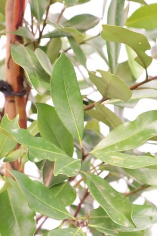 tristaniopsis laurina luscious plant