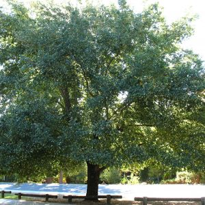 Ulmus-Parvifolia-Kilby-Wholesale-Tree-Farm