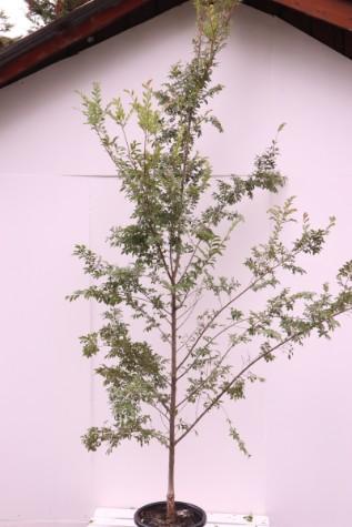 ulmus parvifolia burnley select plant