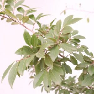 ulmus parvifolia burnley select