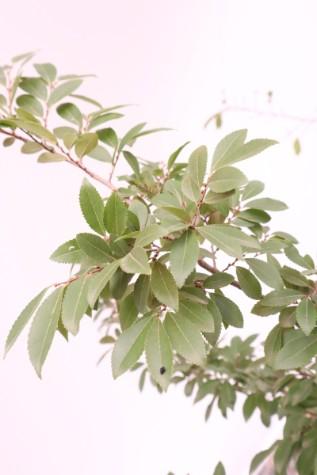 ulmus parvifolia burnley select