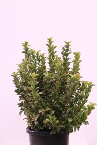 viburnum odoratissimum 'awabuki'