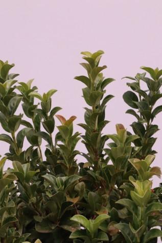 Viburnum odoratissium plant