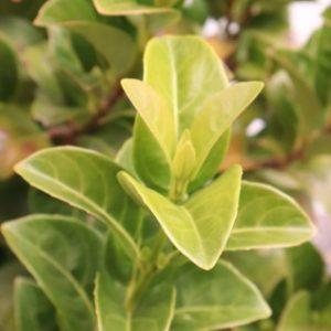 viburnum odoratissium