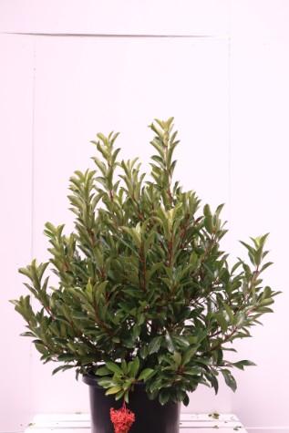 awabuki viburnum odoratissium