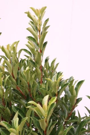 viburnum odoratissium 'awabuki' australia