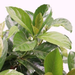 viburnum odoratissium 'emerald luster' plant