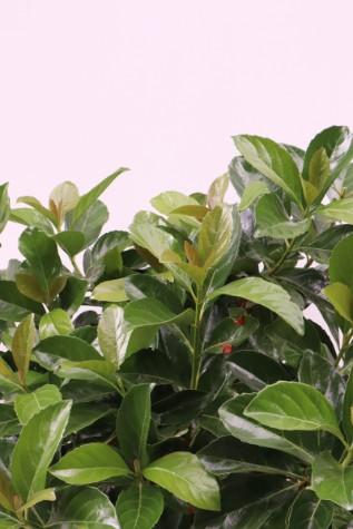 viburnum odoratissium 'emerald luster'