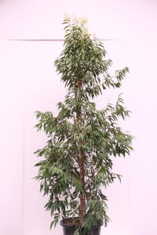 waterhousia floribunda melbourne
