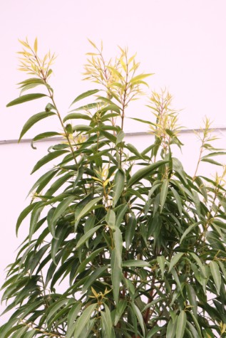 waterhousia floribunda tree