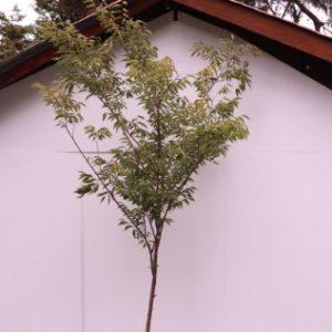 zelcova serrata 'green vase'