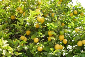 Citrus Plants Melbourne