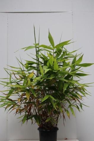 melbourne thysanolaena maxima
