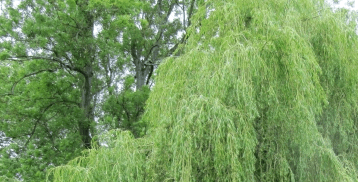 Weeping Trees Guide – Weeping Trees Types, Caring Tips & More