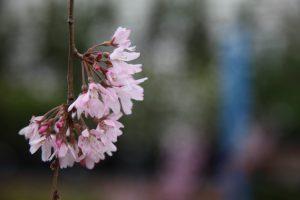 Prunus Pinkasham Weeping Trees