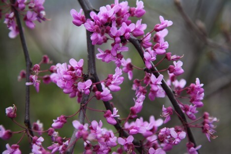 cercis forest pansy tree