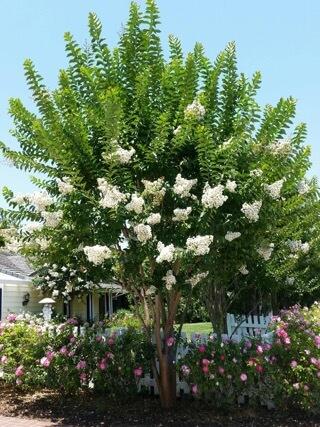 lagerstroemia natchez tree