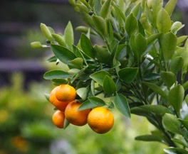 citrus trees melbourne australia