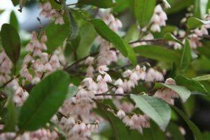 elaeocarpus prima donna