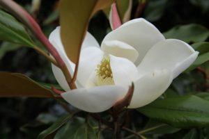 magnolia kay parris
