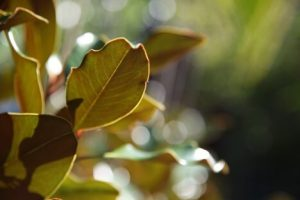magnolia kay parris melbourne Best Evergreen Trees