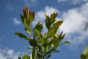 tristaniopsis luscious melbourne