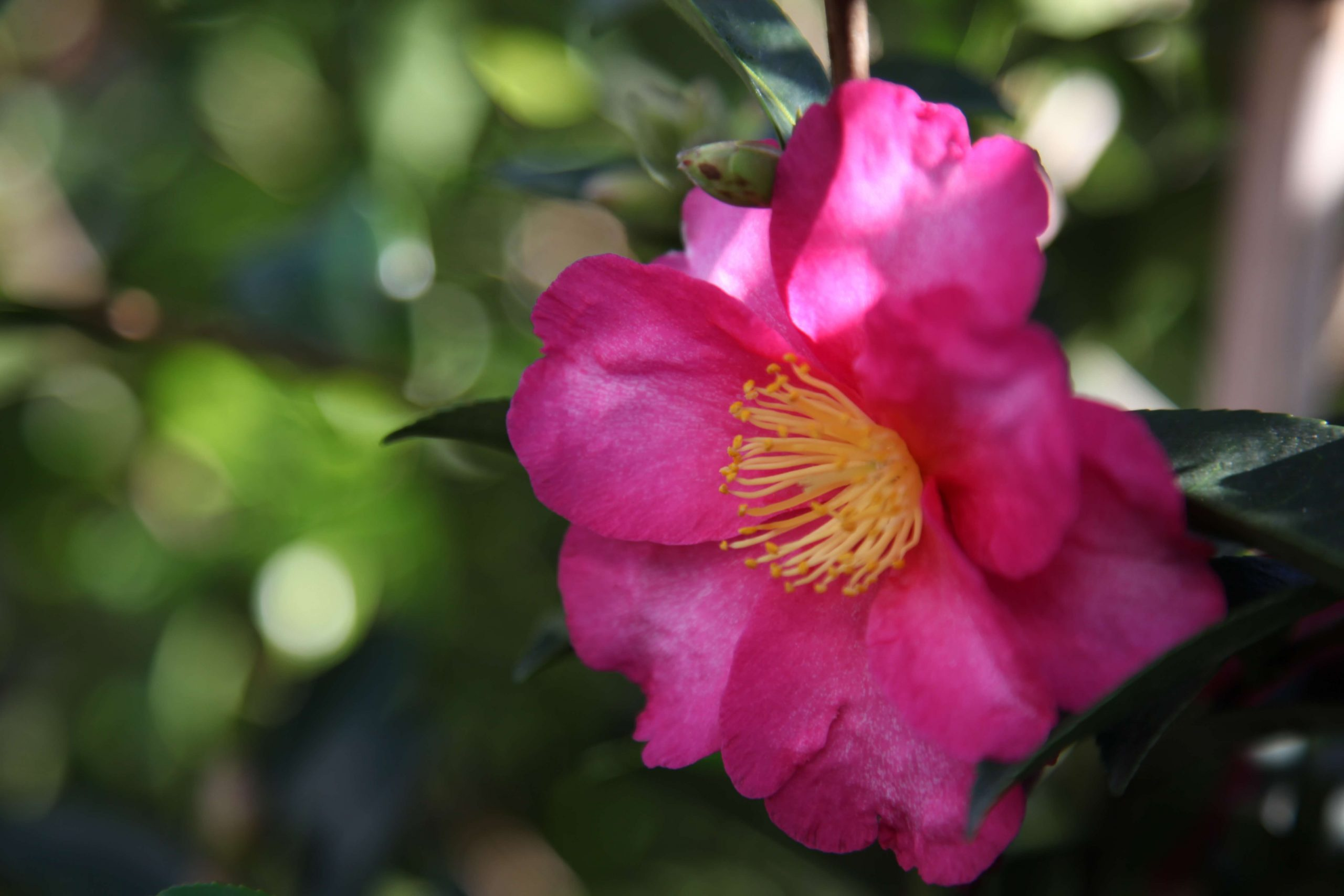 Camelia Hiryu Shrubs Melbourne - Kilby Park Tree Farm Wholesale Nursery Kew