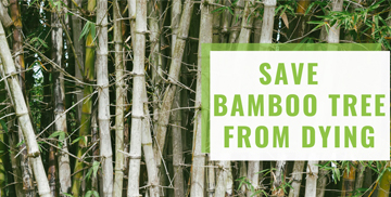 Here is how to save Bamboo Tree from dying