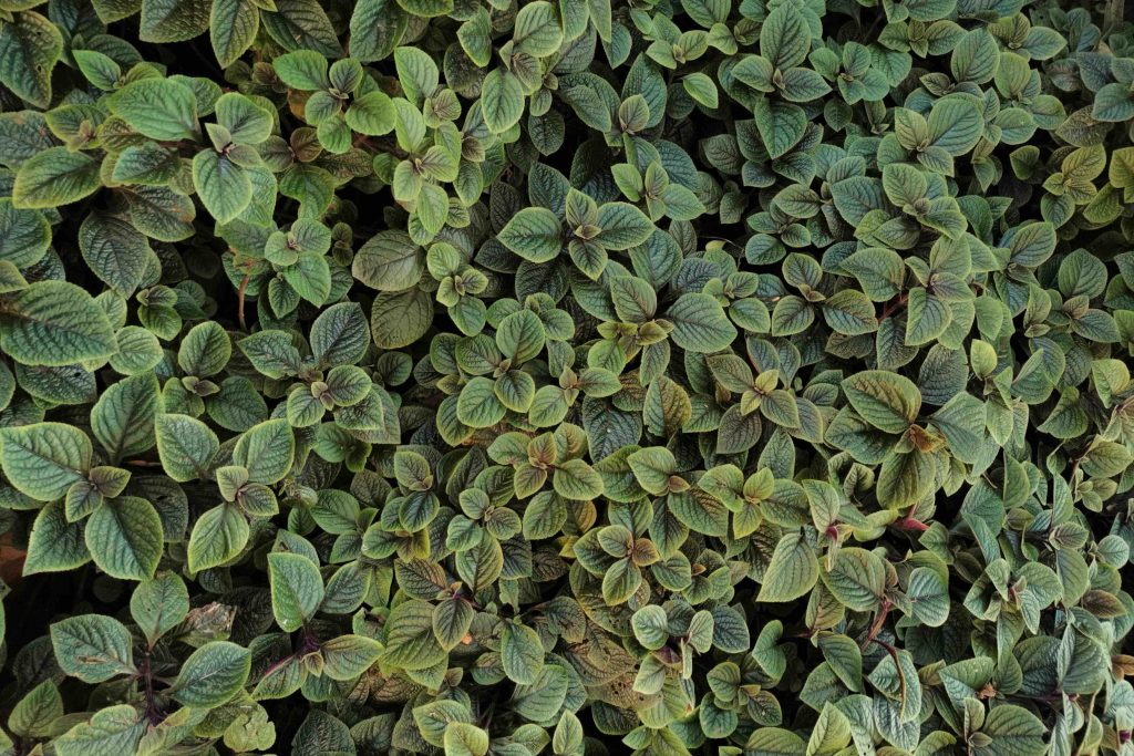 Plectranthus coleoides - Swedish Ivy - wholesale plant nursery