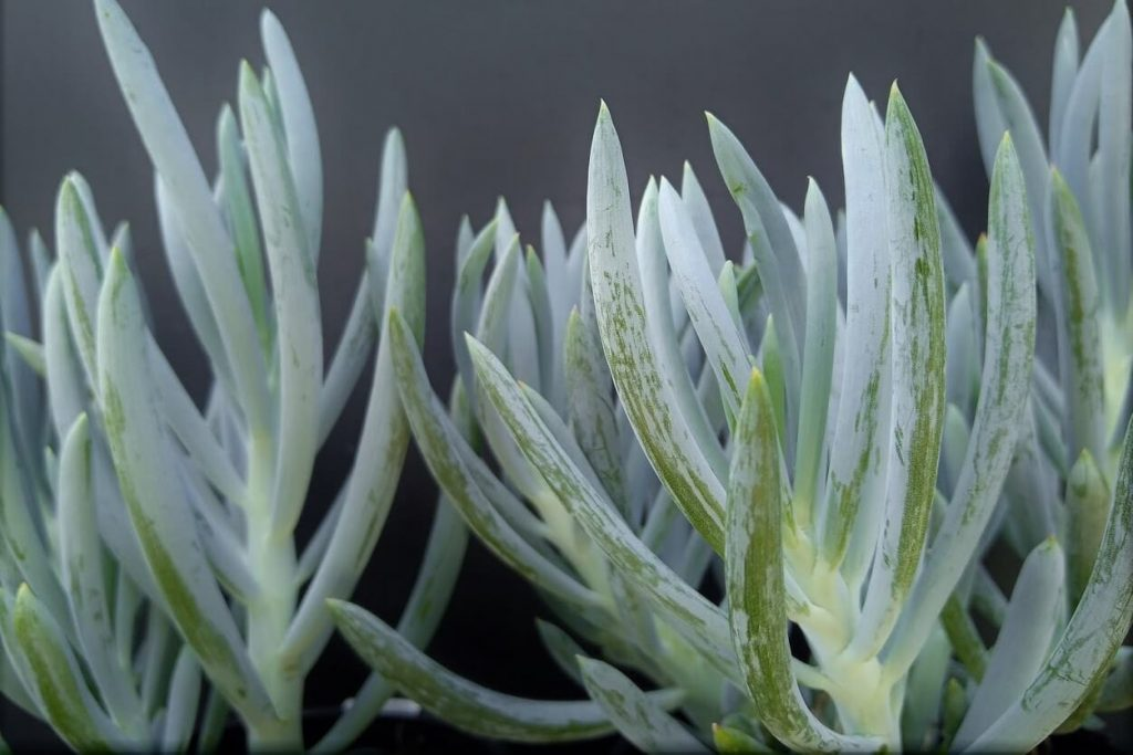 Senecio serpens Chalk sticks - wholesale plant nursery