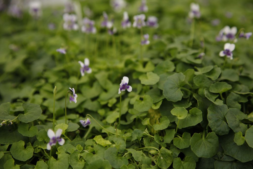 Viola hederacea Native Violet - wholesale plant nursery