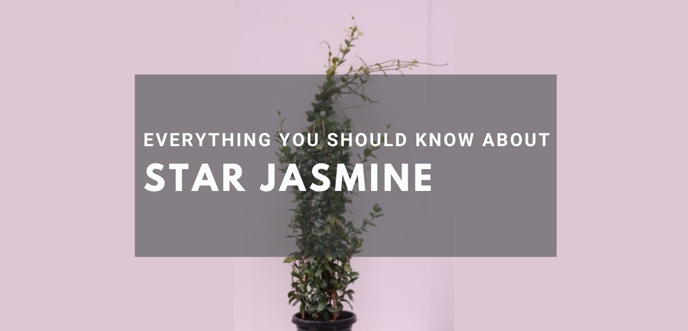Everything you should know about STAR JASMINE