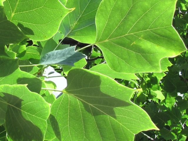 Liriodendron fastigiata leaves